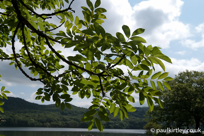 An Ash tree by Lake Windermere. Photo: Paul Kirtley.