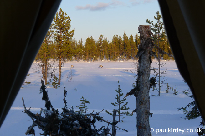 View of reindeer from tent door