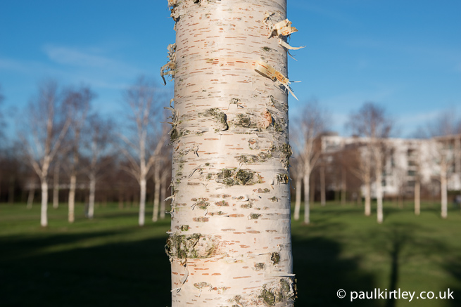 Birch bark in sunshine