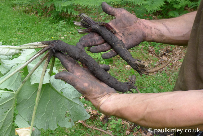 Burdock roots in the hands of a Frontier Bushcraft Intermediate Course student