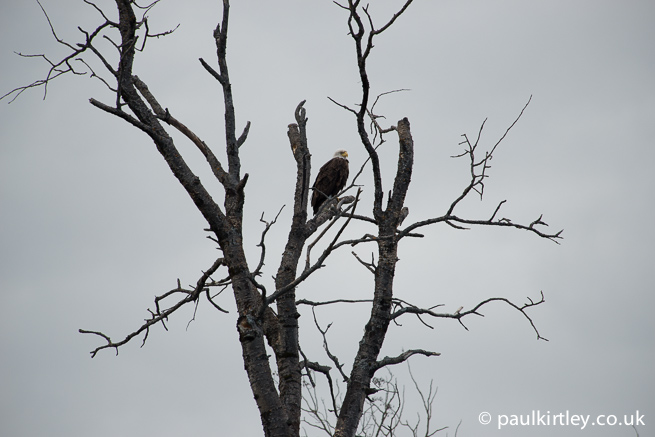 Bald Eagle perched in tree against backdrop of grey sky