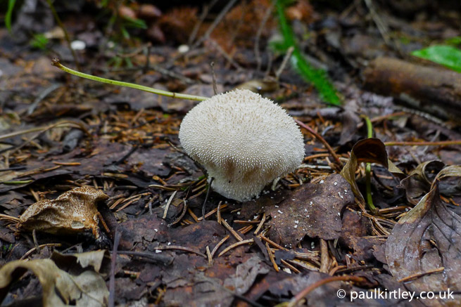 Lycoperdon perlatum, common puffball