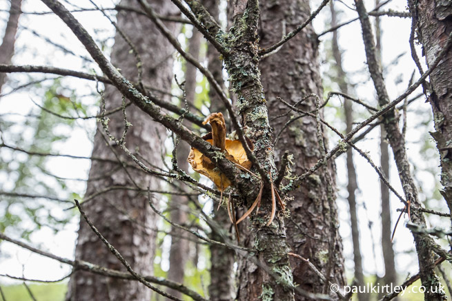 Boletus fungus in tree by squirrel