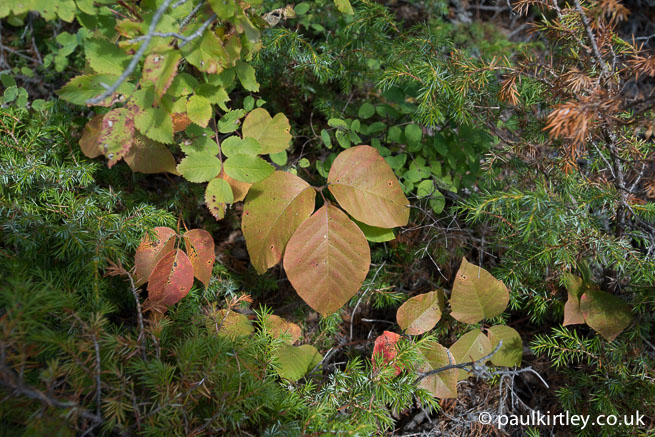 Poison Ivy, Toxicodendron radicans