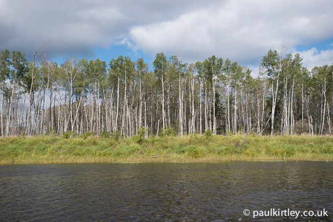 Poplars on the edge of the Bloodvein River