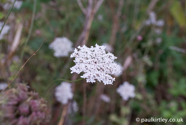 flowering umbel of wild carrot daucus carota galicia spain