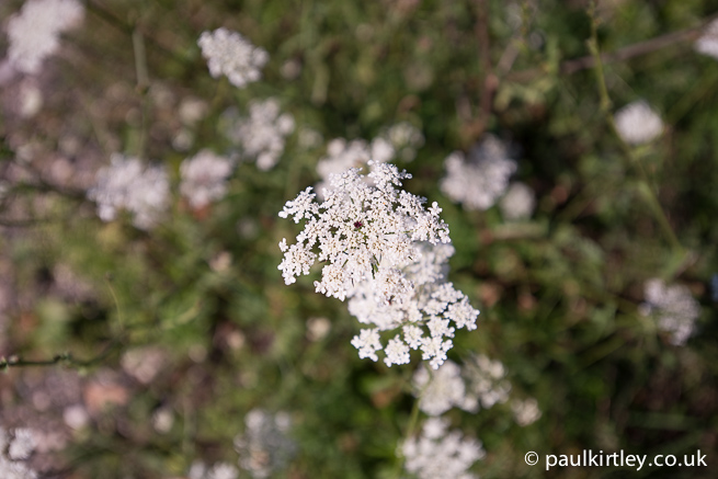 wild carrot umbel