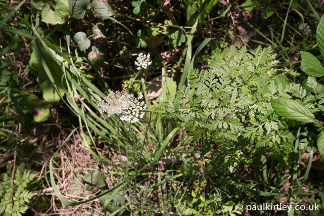 Hemlock and wild carrot growing right next to each other