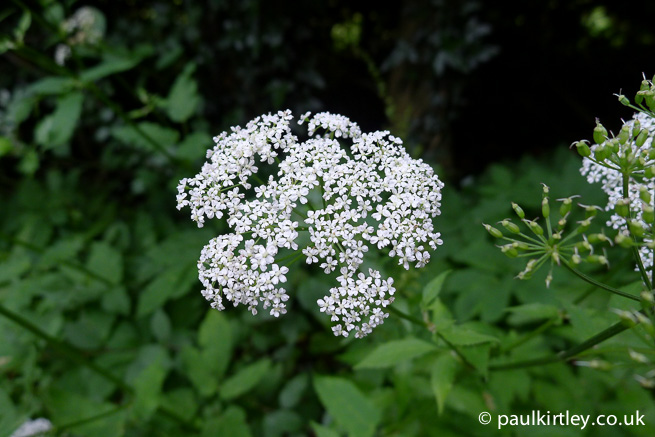 umbel of goutweed ground elder Aegopodium podagraria