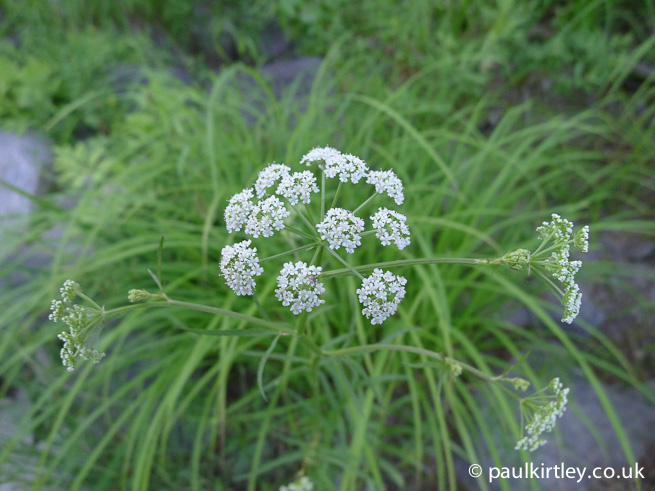 umbel of water parsnip sium suave
