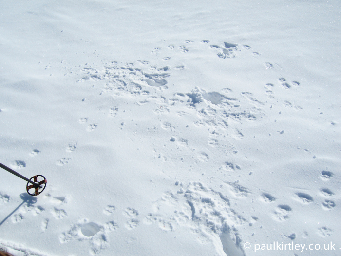 Arctic fox tracks in the snow