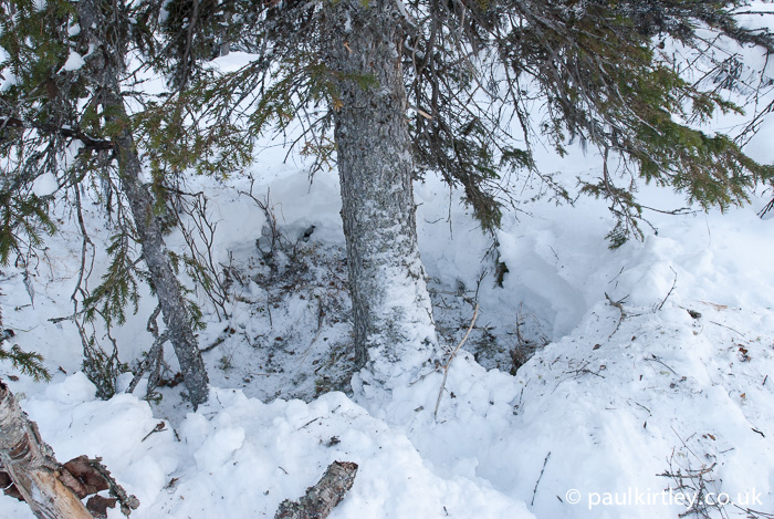 Hollowed out area of snow under a spruce tree