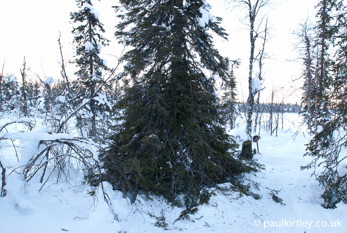 Spruce tree shelter
