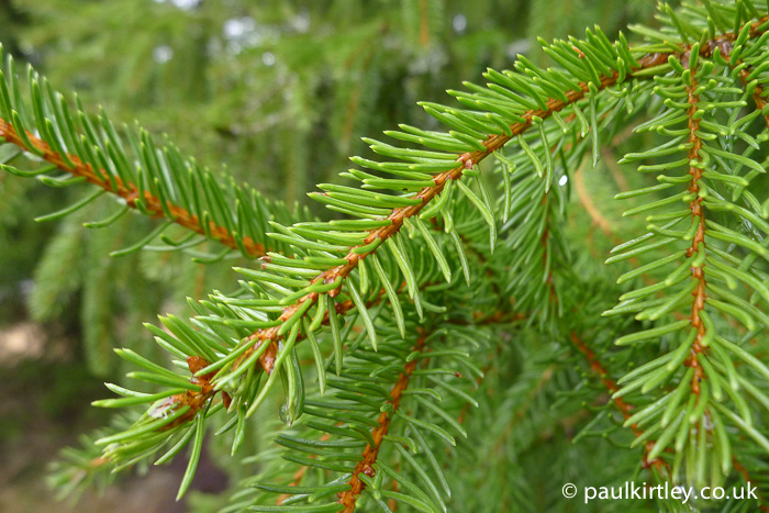 Needles on a spruce tree