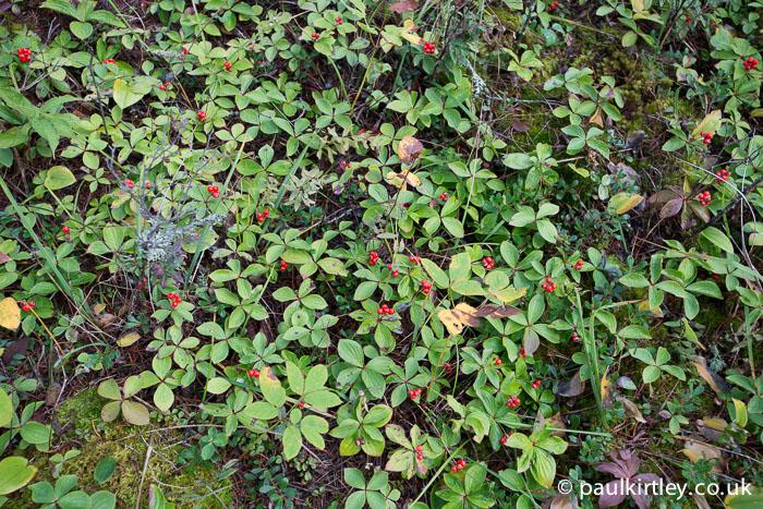 Swathe of bunchberries