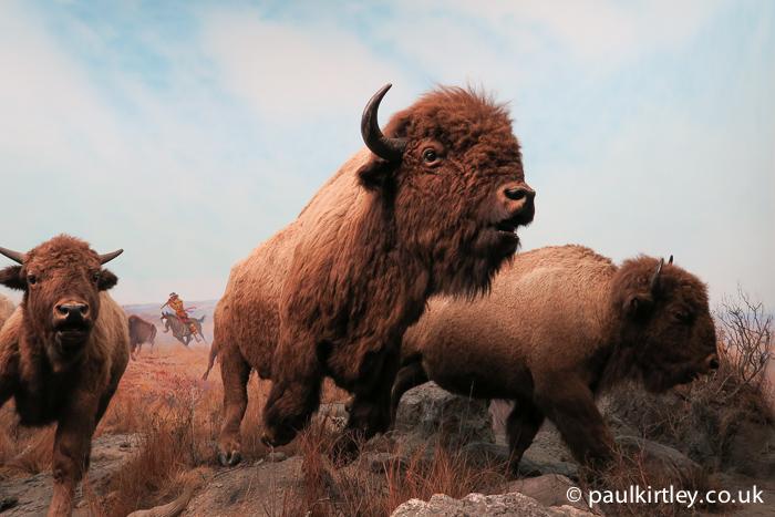 Red River Buffalo running