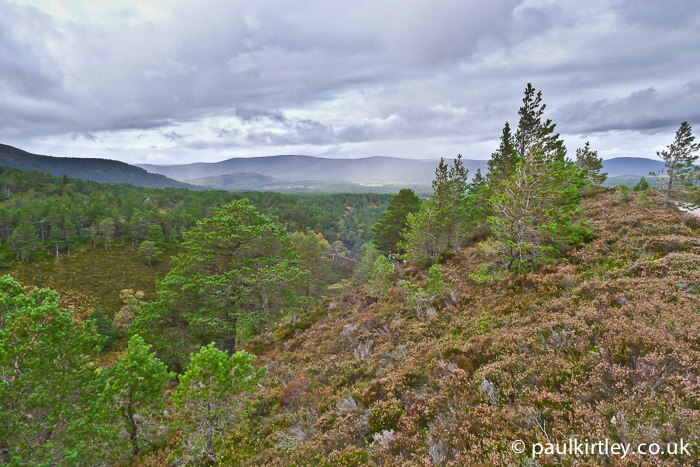 Scots Pine, Caledonian Forest