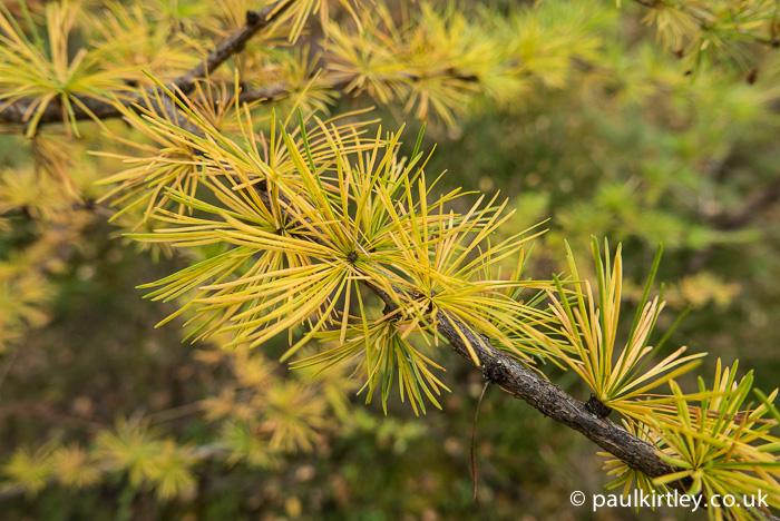 Yellow larch needles