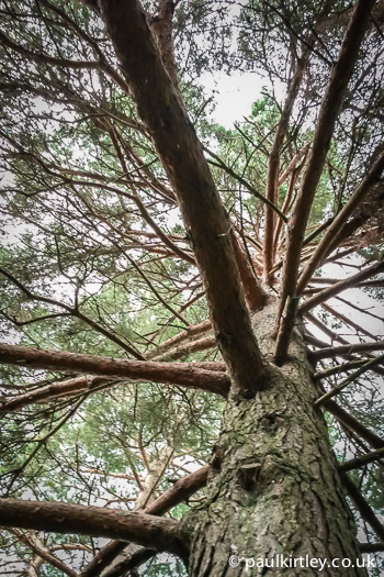 Looking up trunck of Scots Pine