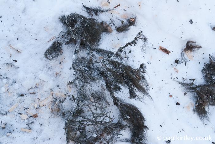 Black beard tree lichen on the snow