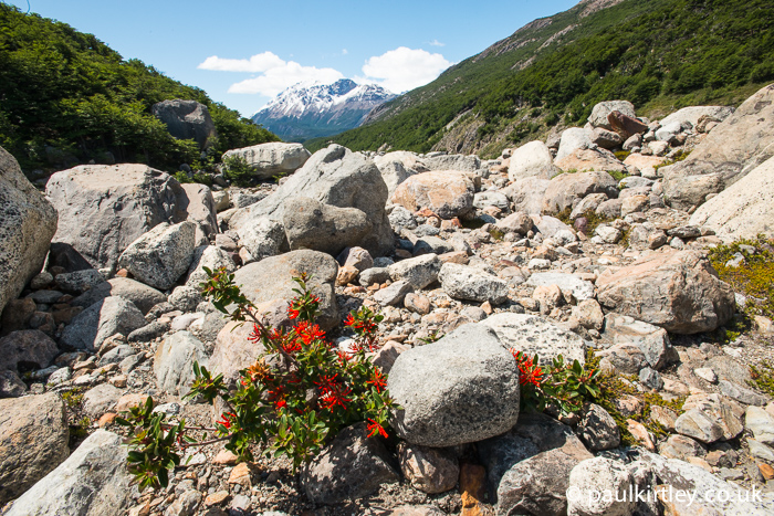 Chilean Firebush, Embothrium coccineum, growing in rugged rocky area of glacial moraine