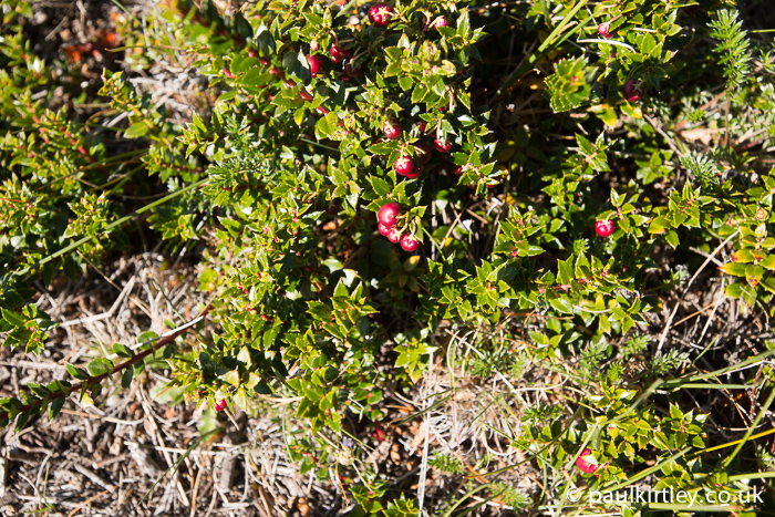 Prickly Heath, Gaultheria mucronata.