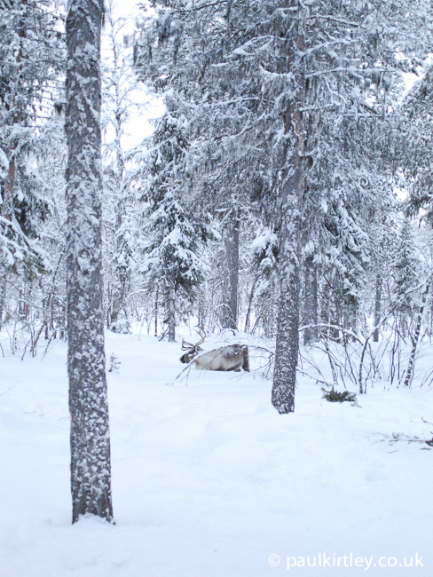 Reindeer in deep snow in the forest