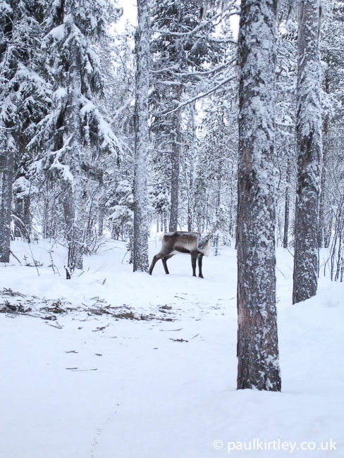Reindeer in the boreal forest in Sweden