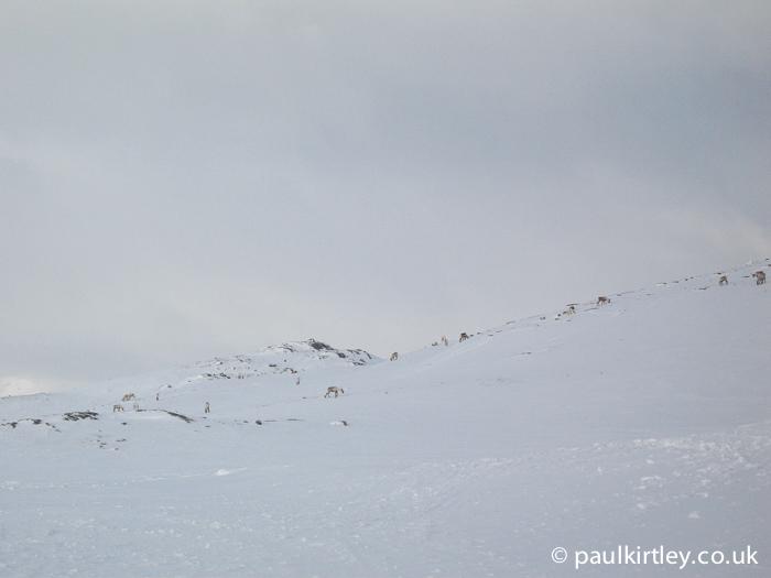 Reindeer on a snowy mountainside