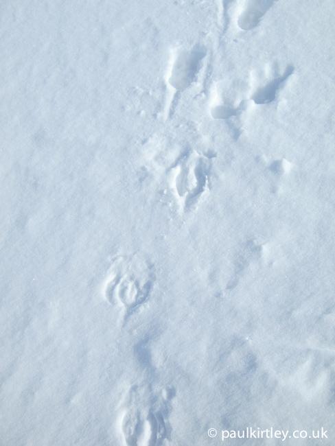 Reindeer tracks in a dusting of snow