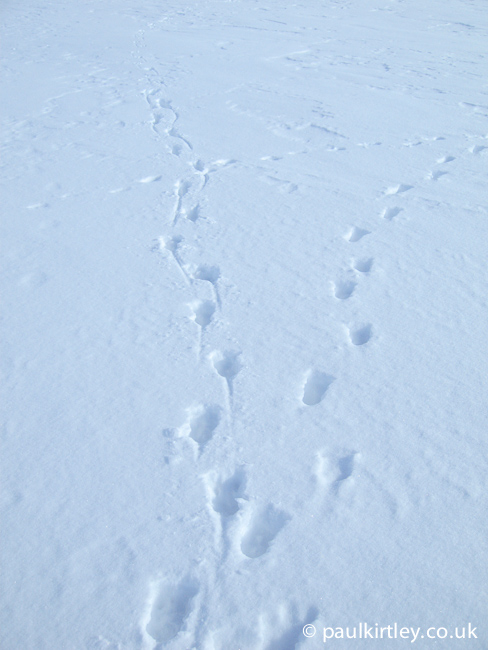 Reindeer tracks in the hard snow of Norwegian mountains