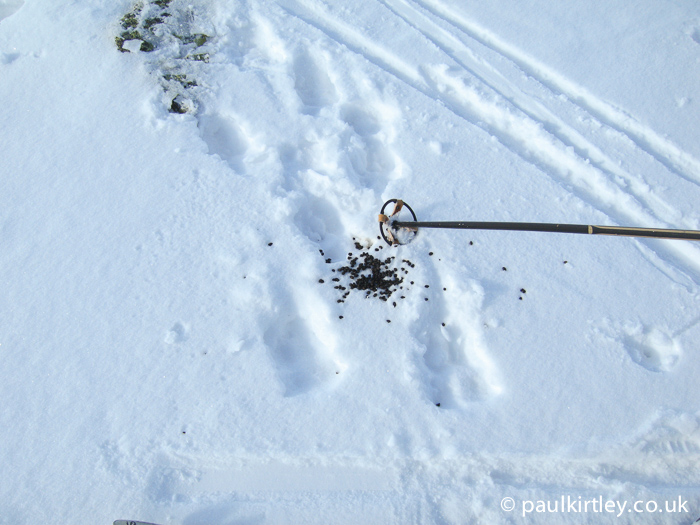 Reindeer droppings and tracks in snow