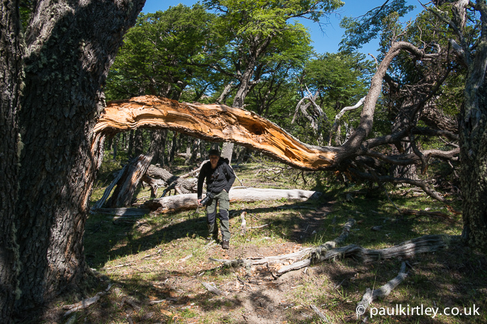 Walking under a smashed Lenga beech in Patagonia