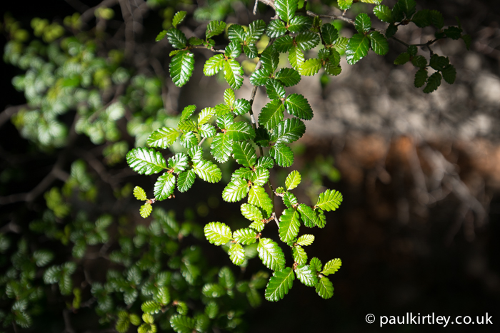 Small leaves of Lenga, Southern Beech, Nothofagus pumilio