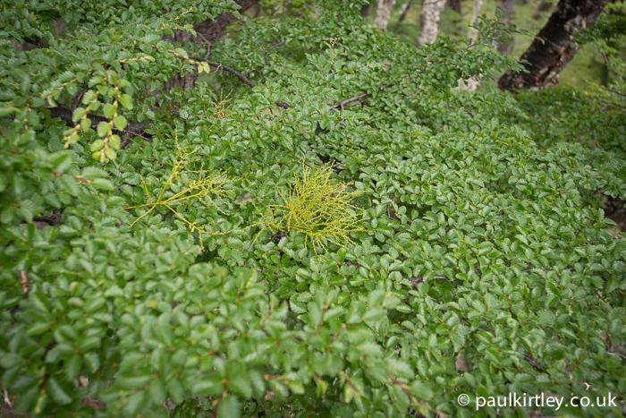 Misodendrum punctulatum in amongst the leaves of Nothofagus pumilio