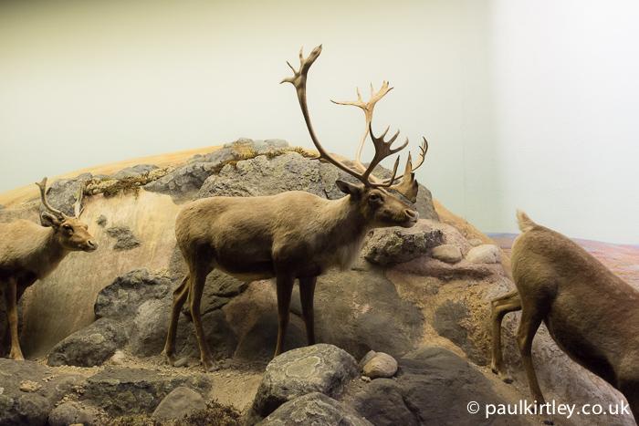 Caribou stuffed display at Manitoba Museum