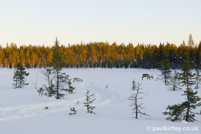 Two reindeer in the middle distance on a trail