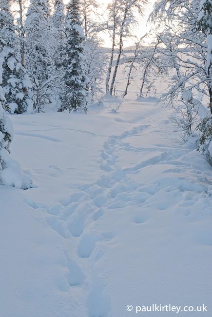 Reindeer tracks in deep snow amongst the trees