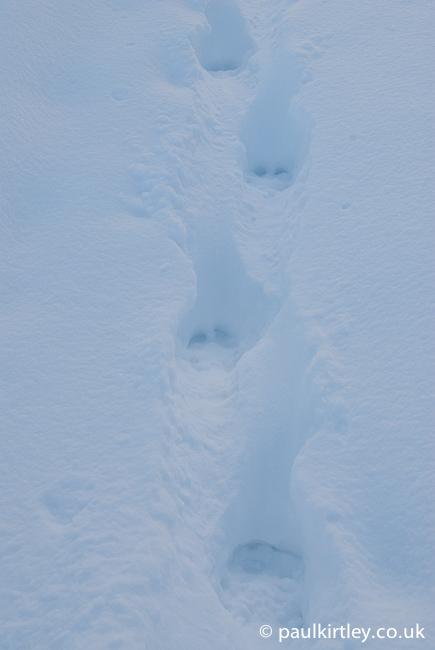 Reindeer tracks in deep snow