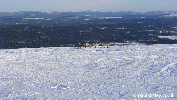 Reindeer in the mountains in Sweden with boral forest in the background lower down