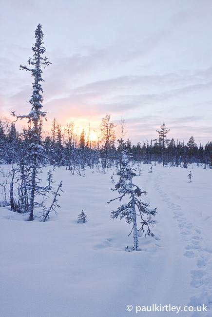 Reindeer tracks on a trail leading into a snowy forest in Sweden