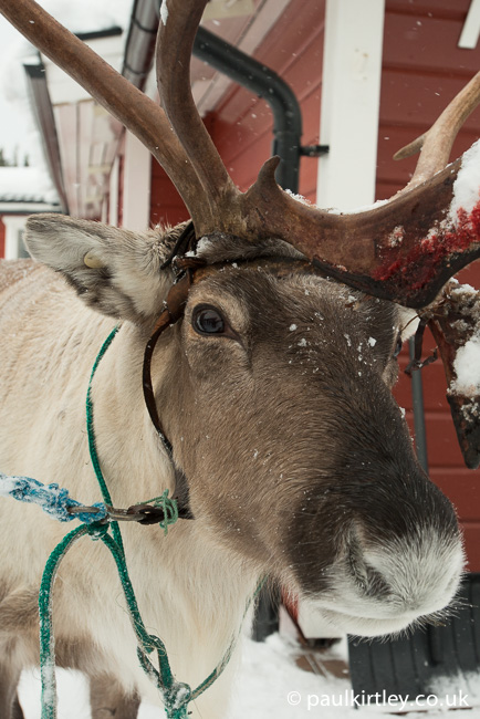 Close up portrait of a reindeer