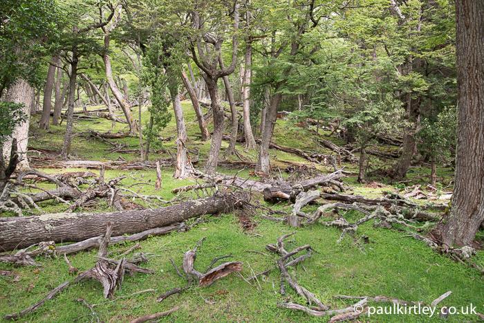 Lenga forest near Perito Moreno