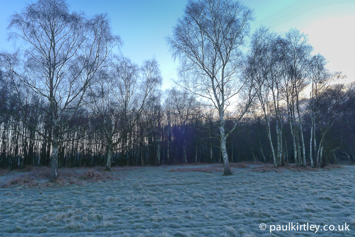 Birch trees and frosty grass