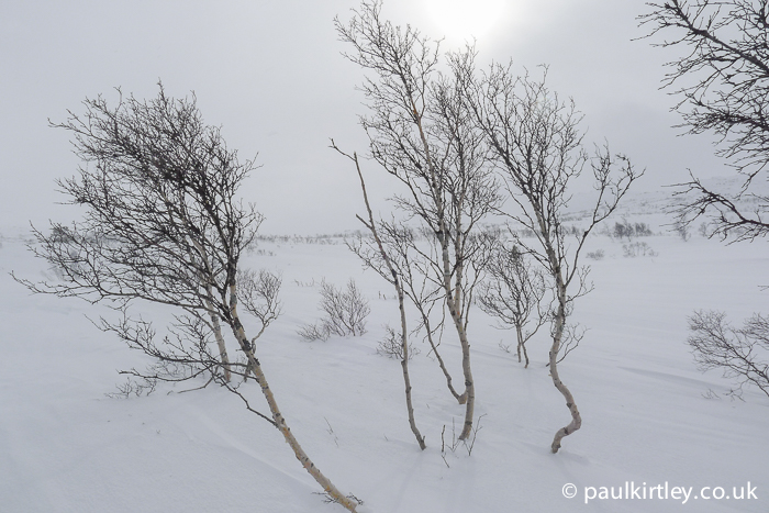 Stunted silver birch in harsh snowy conditions in Norway