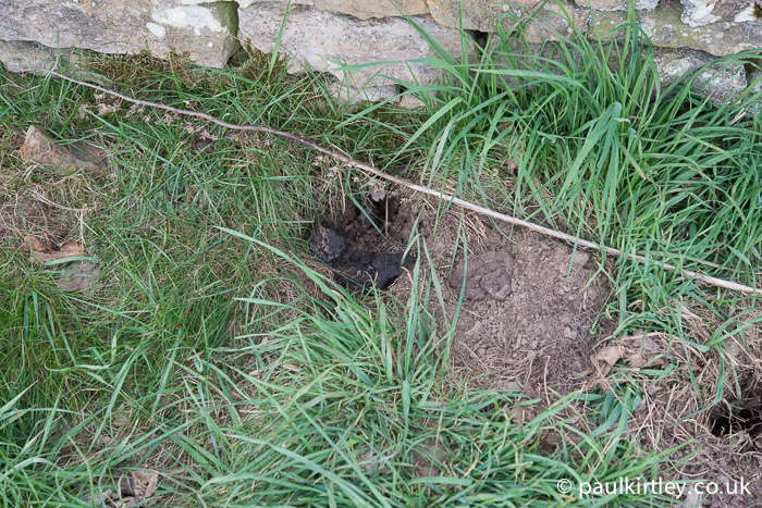 Badger latrine hole in grass by a wall