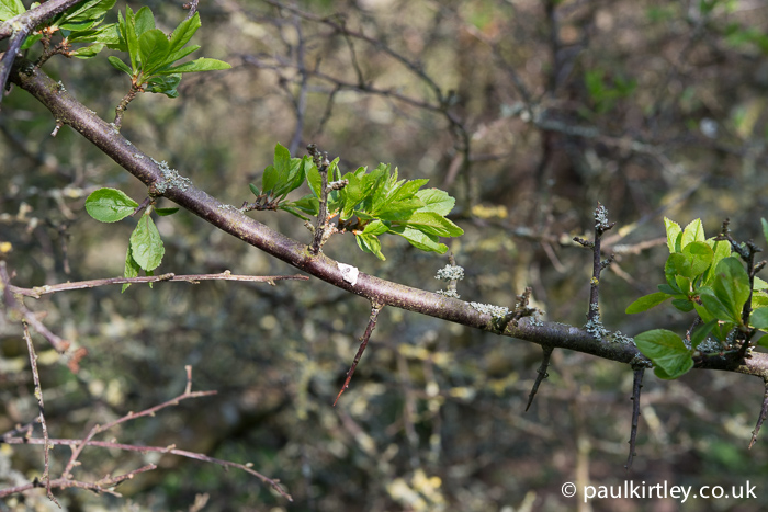 Blackthorn leaves on a shoot