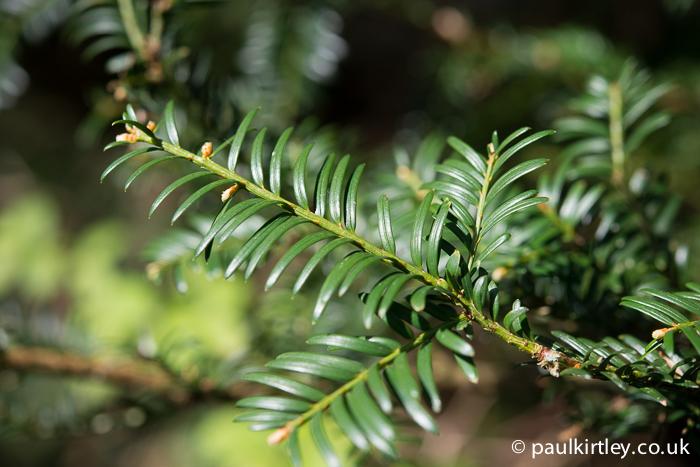 Yew tree needles