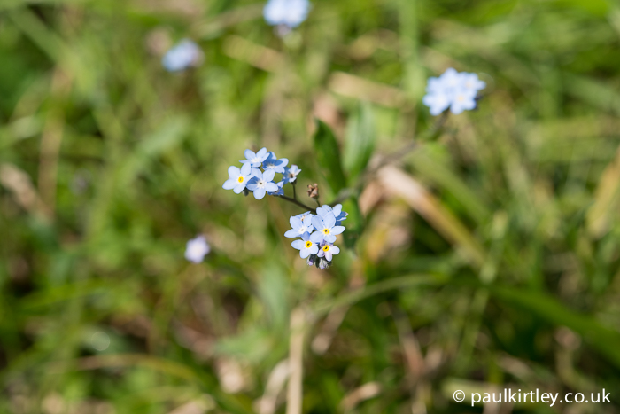 forget me nots in flower