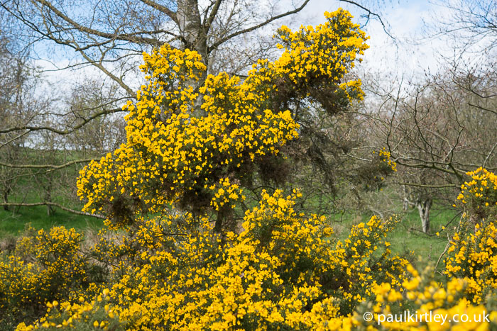 Gorse bush in full bloom